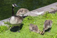 Canadian goose Branta canadensis walking with young goslings royalty free stock photography