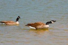 Canadian Goose Calls Stock Photo
