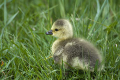 Canadian goose chick Stock Photo