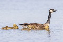 Canadian goose and chicks, Branta canadensis. Close-up of a Canada goose Branta canadensis with chicks swimming in a pond royalty free stock image