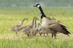 Canadian goose chicks and family Stock Images
