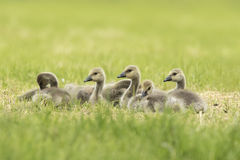 Canadian goose chicks and family Royalty Free Stock Photo