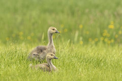 Canadian goose chicks and family Royalty Free Stock Images
