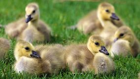 Canadian goose with chicks, geese with goslings walking in green grass in Michigan during spring. stock images