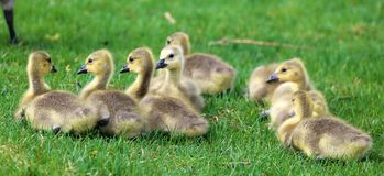 Canadian goose with chicks, geese with goslings walking in green grass in Michigan during spring. royalty free stock photos