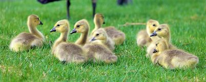 Canadian goose with chicks, geese with goslings walking in green grass in Michigan during spring. Royalty Free Stock Images