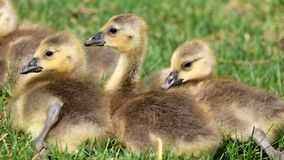 Canadian goose with chicks, geese with goslings walking in green grass in Michigan during spring. Stock Photos