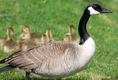 Canadian goose with chicks, geese with goslings walking in green grass in Michigan during spring. Stock Photo