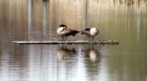 Canadian goose cleaning Royalty Free Stock Images