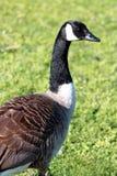 Canadian Goose Royalty Free Stock Photos