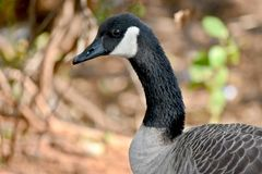 Canadian Goose, Close up, Oklahoma. Canadian Goose, Close up, NW Oklahoma, profile shot feeding next to a pond, good depth of field Royalty Free Stock Photos