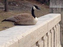 Canadian goose close-up royalty free stock photos
