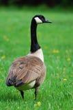Canadian Goose closeup detail Stock Images