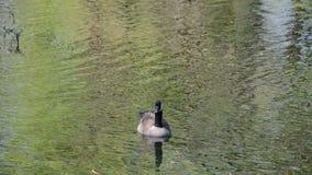 Canadian goose closeup stock video