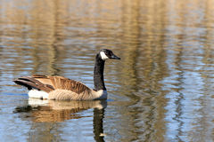 Canadian goose Stock Image