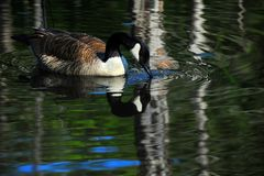 Checking His Reflection. Canadian Goose dips its head to check reflection in glassy water of Cooty Lake in Southern Arkansas royalty free stock photo