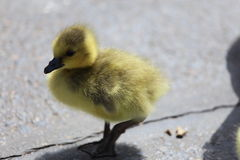 Canadian Goose Duckling. A close up view of a Canadian goose duckling walking on concrete Stock Photography
