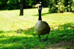Canadian Goose Enjoying a Bit of Shade Under a Tree Royalty Free Stock Image