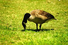 Canadian Goose Enjoying a Snack of Grass in North Carolina Royalty Free Stock Image