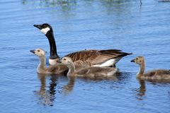 Canadian Goose Family Stock Image
