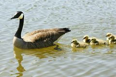 Canadian goose family Royalty Free Stock Photos