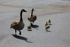 Canadian Goose Family. A family of Canadian geese walking on concrete, which includes both parents and duckling Stock Photo