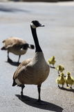 Canadian Goose Family. A family of Canadian geese walking on concrete, which includes both parents and duckling Stock Images