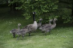 Canadian Goose Family with Goslings aka baby geese. At the lake in the park royalty free stock photos