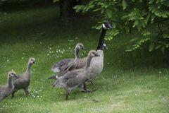 Canadian Goose Family with Goslings aka baby geese. At the lake in the park royalty free stock photo