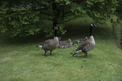 Canadian Goose Family with Goslings aka baby geese. At the lake in the park stock images