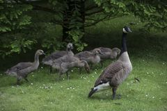 Canadian Goose Family with Goslings aka baby geese. At the lake in the park stock photography