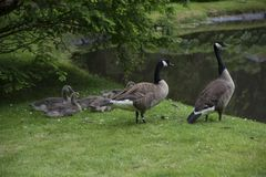 Canadian Goose Family with Goslings aka baby geese. At the lake in the park stock photos
