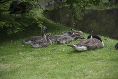 Canadian Goose Family with Goslings aka baby geese. Sitting in the grass stock photos