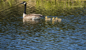 Canadian Goose Family Royalty Free Stock Images