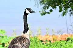 Canadian Goose feeding along the shore of Lake Hefner. Canadian Goose feeding on Lake Hefner in Oklahoma City, This gander was keeping a lookout for predators Stock Photo