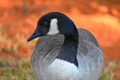 Canadian Goose feeding, profile Stock Images