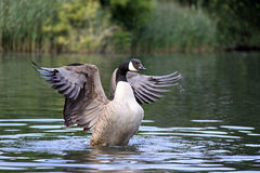 Canadian Goose flapping wings Royalty Free Stock Images