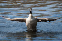 Canadian Goose flapping wings in soft focus Royalty Free Stock Photos