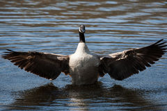 Canadian Goose flapping wings Royalty Free Stock Image