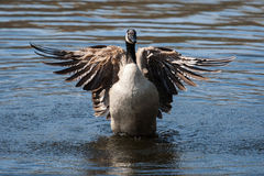 Canadian Goose flapping wings Royalty Free Stock Photo