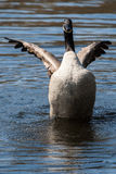 Canadian Goose flapping wings Stock Image