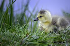 Canadian goose fledgling Royalty Free Stock Image