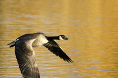 Canadian Goose in Flight Royalty Free Stock Photos