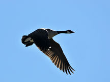 Canadian goose in flight Royalty Free Stock Photography