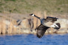 Canadian Goose in Flight Royalty Free Stock Images