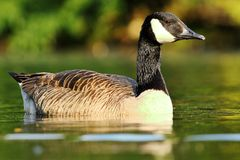 Free Canadian Goose Floating On Pond Surface Royalty Free Stock Photo - 132792035