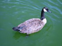Canadian goose floats on green lake water. Beautiful, majestic Canadian goose slowly swims on green lake water Royalty Free Stock Photo