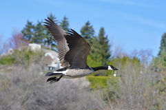 Canadian Goose flying Stock Image