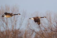 Canadian Goose Flying Stock Photo