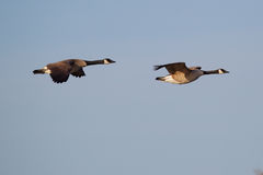 Canadian Goose Flying stock photos